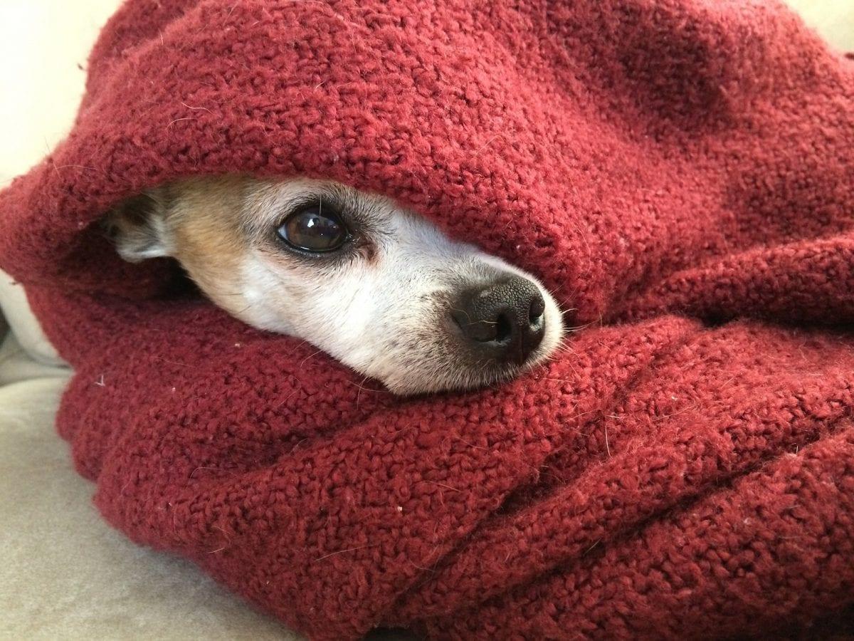 Dog in blanket.