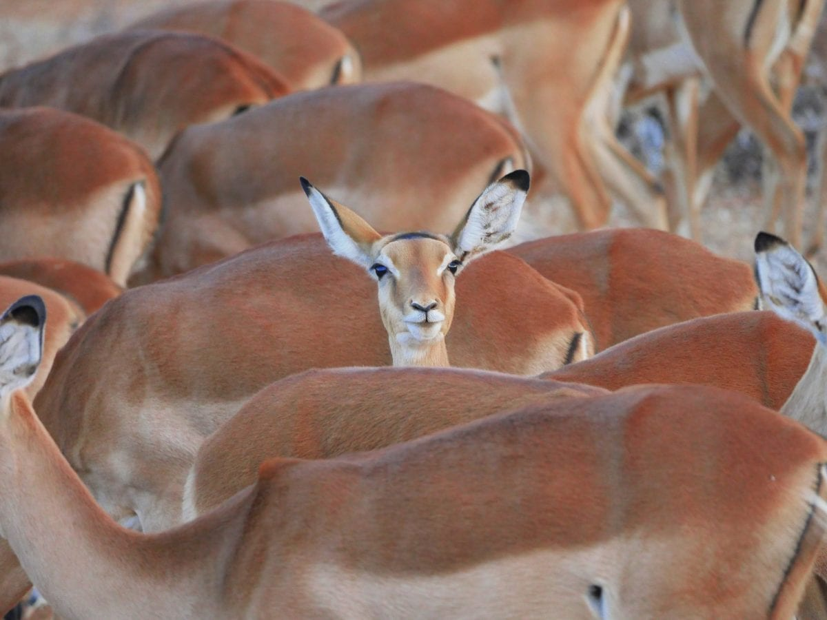 An impala in a herd