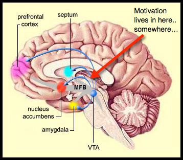 Diagram of the human brain showing reward centers